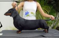 D'Joao Dachshund Scpc Noble Three